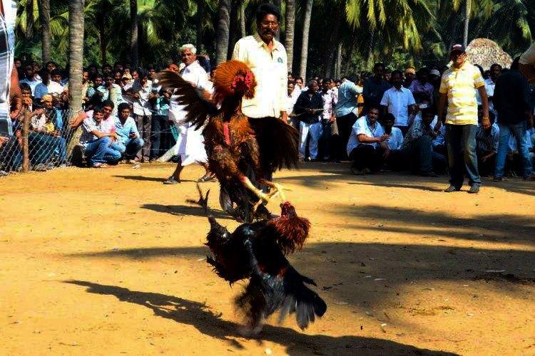 Cockfights continue unabated in Andhra despite ban police warning