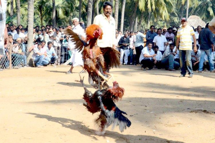In the guise of holding kabaddi match Andhra village gets ready for cockfights