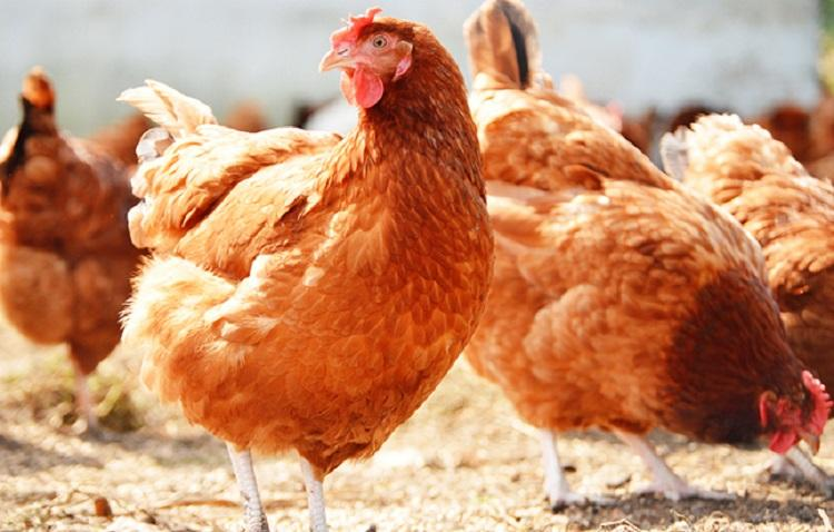 Not possible to sell chicken at price decided by govt Kerala traders threaten to shut shop