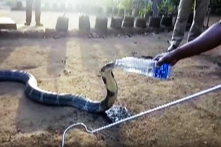 Real story behind a King Cobra from Karnataka drinking water from a water bottle