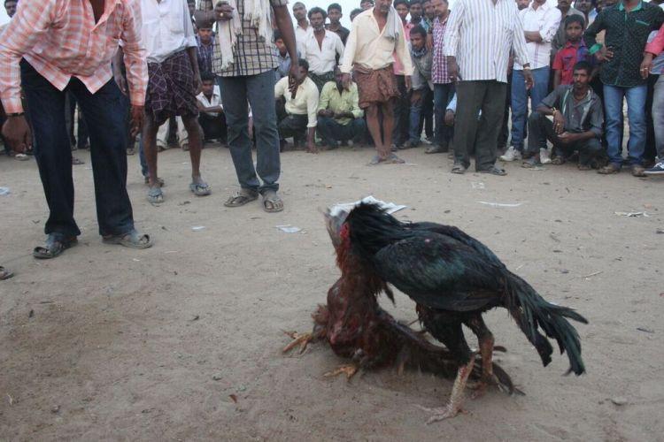 Andhra Pradesh to take strict action against cock-fight organizers this Sankranthi