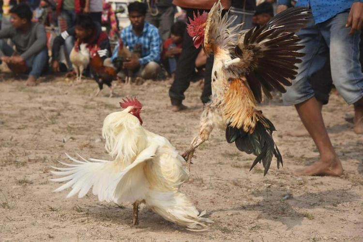 Two roosters fighting in a ring surrounded by men