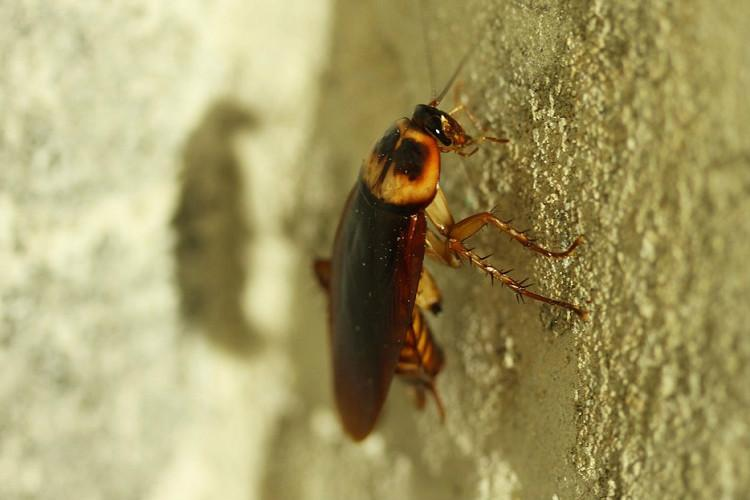 The Cockroach is cool Six facts about one of the most hated creatures in the world