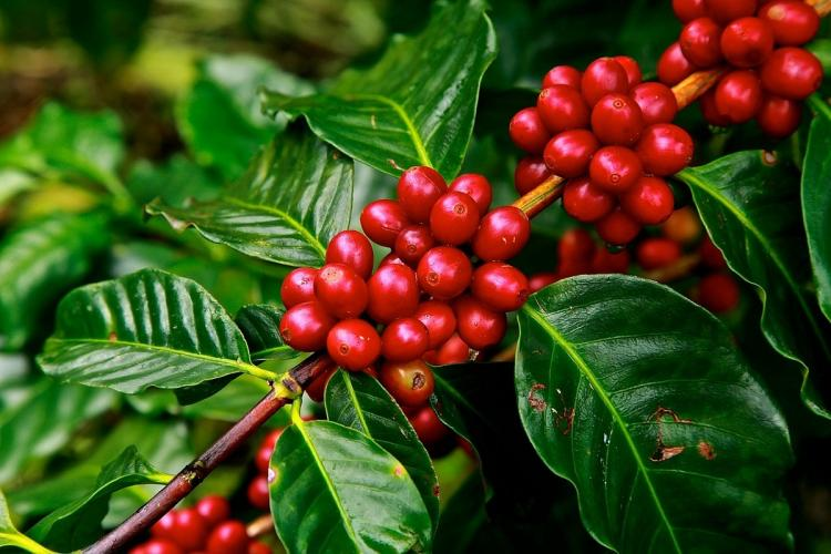 Ripe coffee berries on the plant bright red beans against bright green leaves
