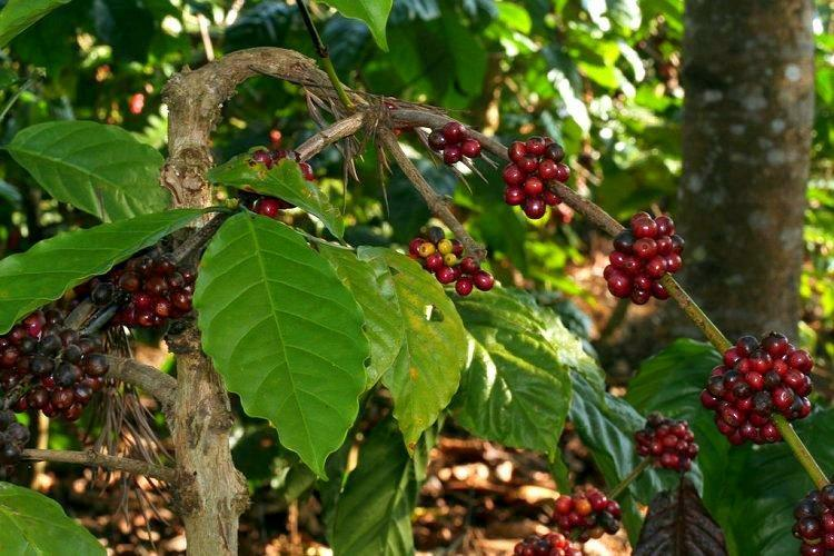 Ktakas Coffee Board draws road map for brewing coffee better ties up with EY