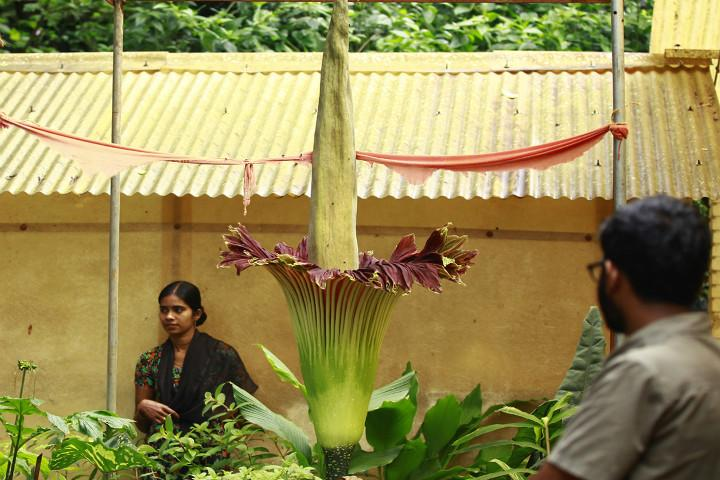 Crowds throng Wayanad to watch the giant corpse flower bloom after a gap of nine years