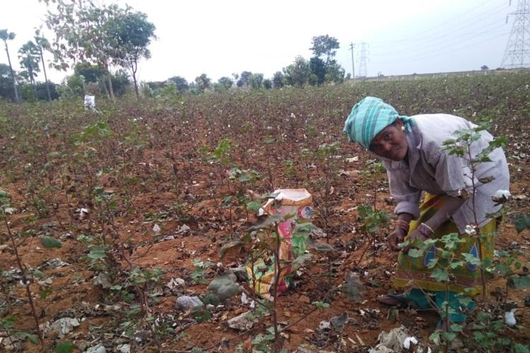 The human cost of growing cotton in Telangana | The News Minute