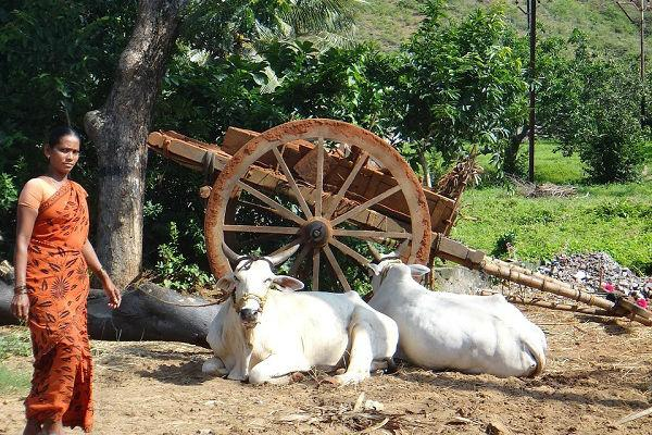 Haryana commission proposes 5 cow cess on movie tickets for welfare of bovines