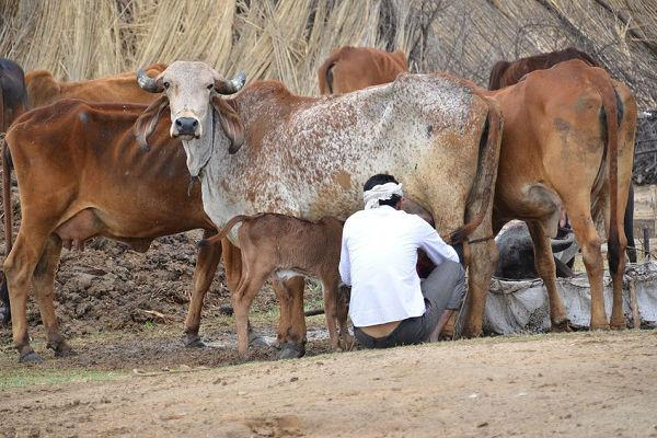 TN parties condemn Centres new cattle slaughter rules AIADMK maintains stoic silence