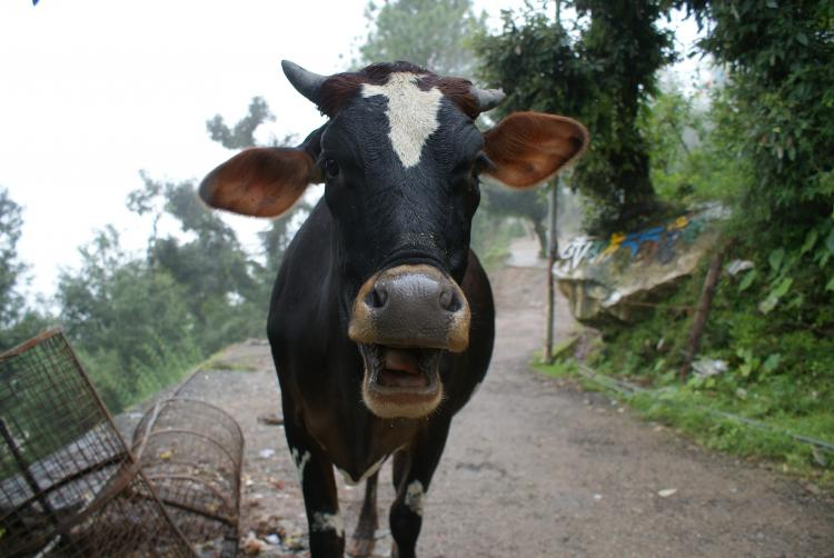 Ban on cow slaughter is constitutional but does economic reasoning still hold good