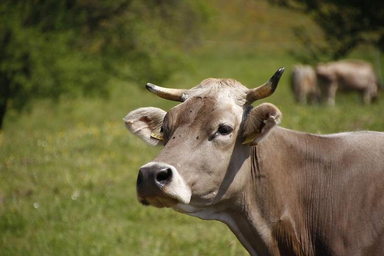 Decapitated head of cow dumped at Hindu mans home in US