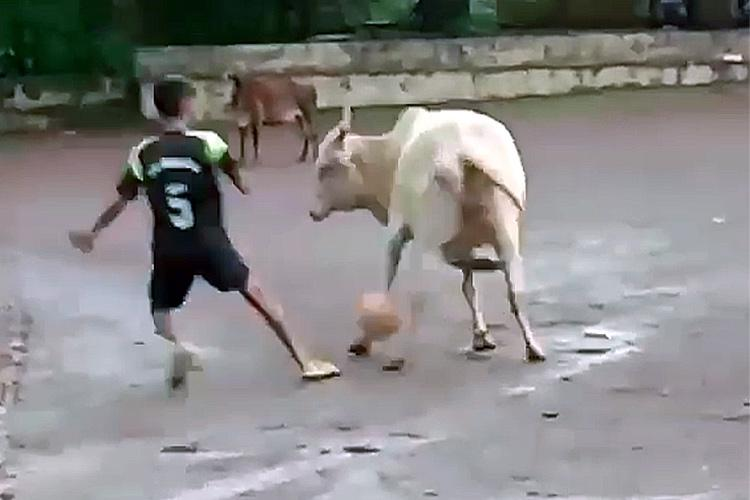 Watch You need to see this video of an ox playing football