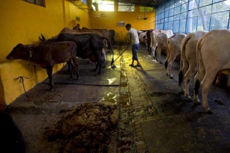 Make cow the national animal increase punishment for slaughter Rajasthan HC recommends