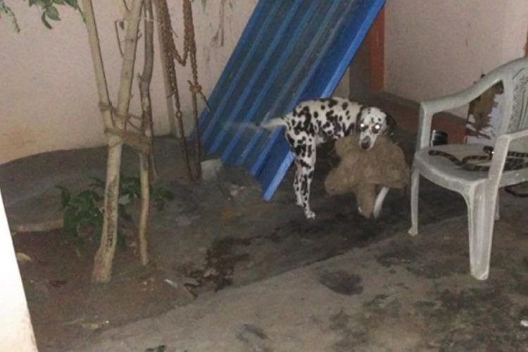 Humane Society International Hsi Activists Rescued A Two Year Old Dalmatian Which Was Allegedly Abandoned By Its Owners And Left Behind Without Food