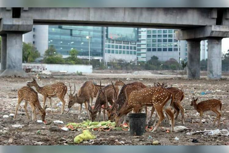 IIT-Madras claims deer deaths on campus down by 64pc activists sceptical