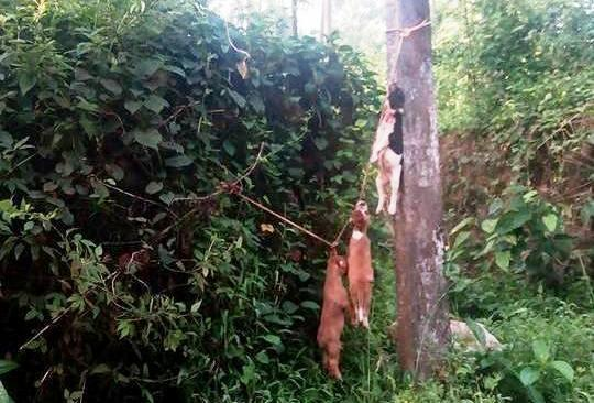 Dog carcasses hanged at spot where RSS functionary Manoj was killed by CPIM workers