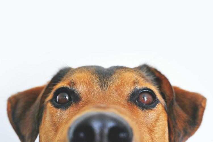 closeup of a brown dogs face