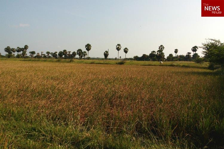 From season of harvest to season of abandon How TNs worst monsoon in 150 years killed Pongal