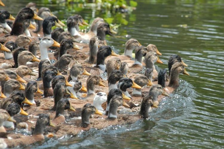 Dead ducks in Kerala 500 burnt officials to take a call on culling