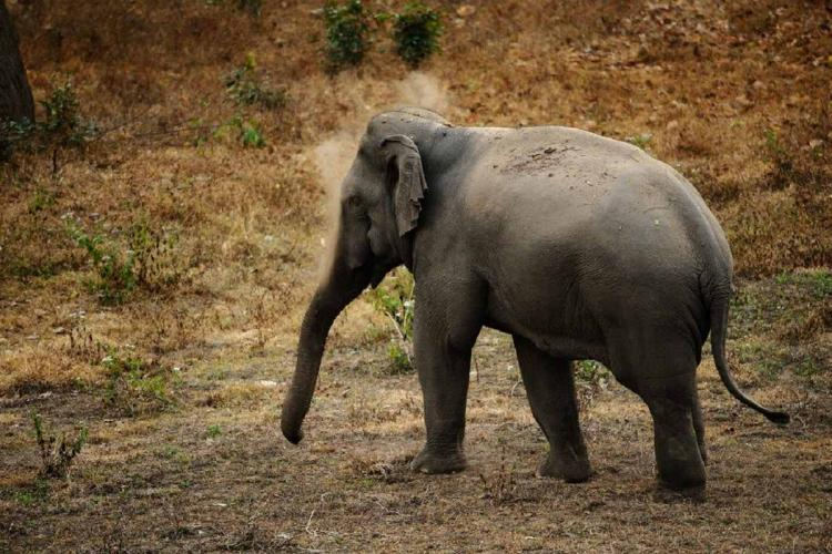 Male elephant injured in suspected fight with other tuskers dies in Kerala