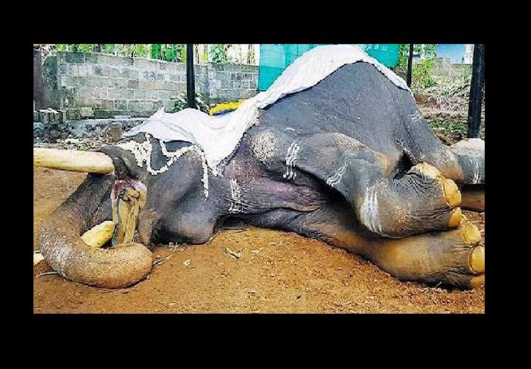 9 captive elephants died of extreme torture in Keralas festival season NGO alleges