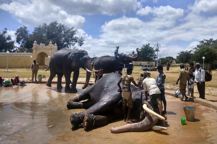 The elephants of Mysuru Dasara Dhananjaya the debutante and Bhaskara his mahout