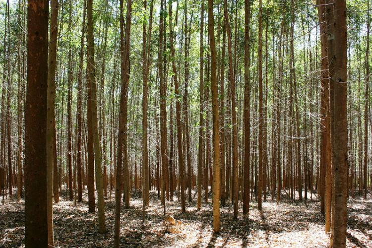Faced with severe drought Kerala to cut down Eucalyptus and Acacia trees