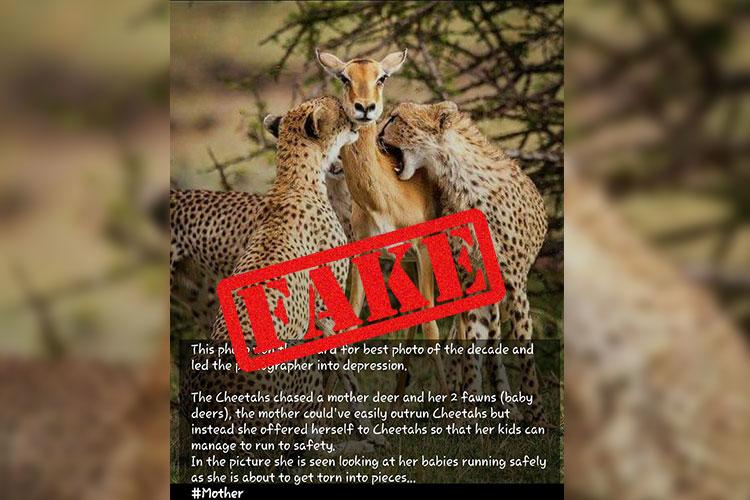 Shed tears over the impala who faced cheetahs to save her babies Read the true story