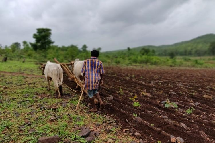 A farmer ploughing his field with two bullocks He is wearing a checked shirt