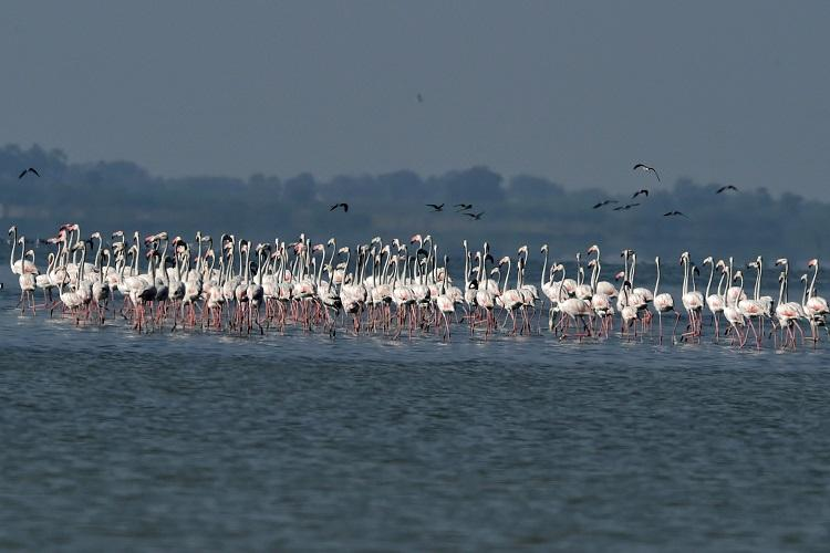 In photos Migratory birds turn Pulicat Lake into bird enthusiasts paradise