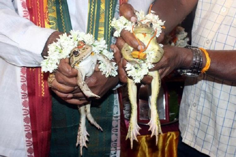 Now a frog wedding in Udupi to appease rain god complete with mangalsutra and lunch