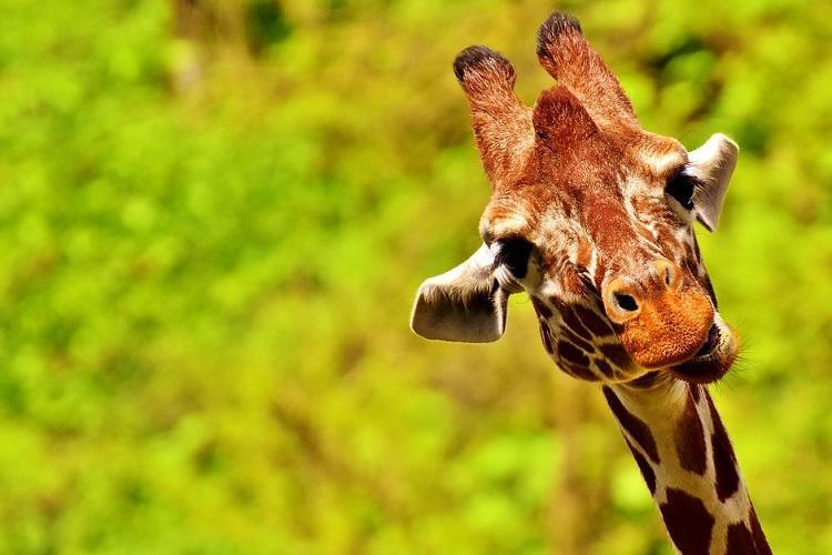 Standing 12-ft tall Gauri becomes Bannerghatta Biological Parks first giraffe