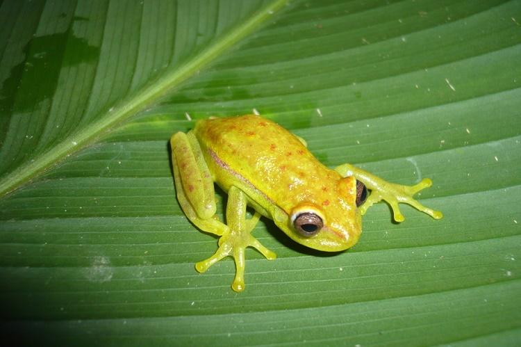 The worlds first glow-in-the-dark frog found in Argentina