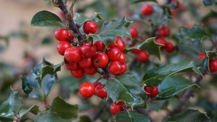 The holly and the ivy how pagan practices found their way into Christmas
