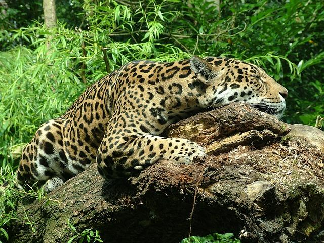 Delhi zoo to return jaguar named Salman from Kerala because it is too fat to breed