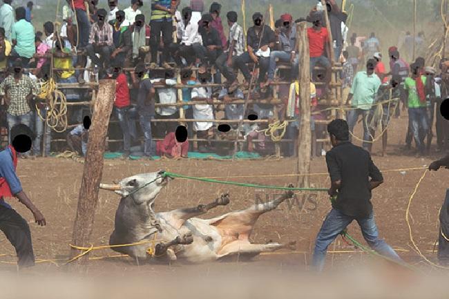 Armed with evidence of cruelty from 2018 jallikattu PETA seeks ban on sport