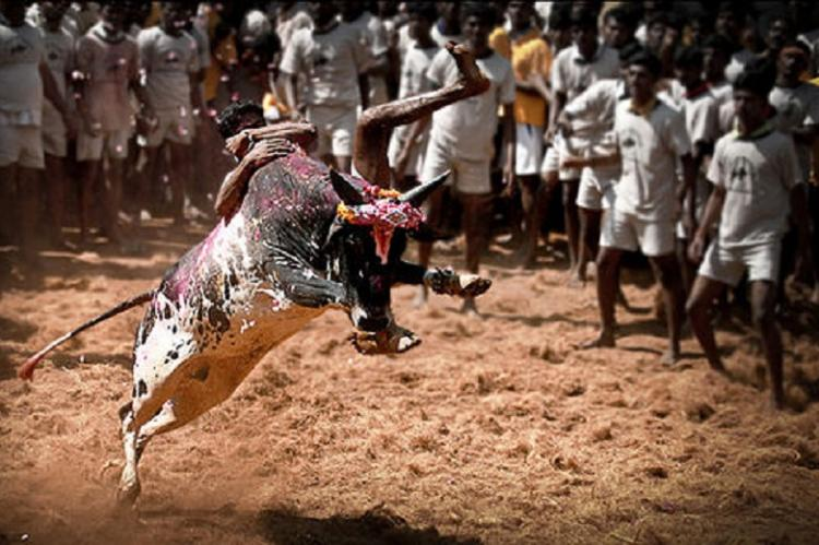 Jallikattu supporters react Centre or State should issue ordinance nullifying SC stay