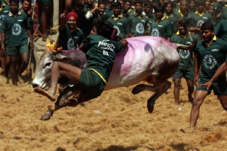 Jallikattu gets off to grand start in Madurai as part of Pongal festivities