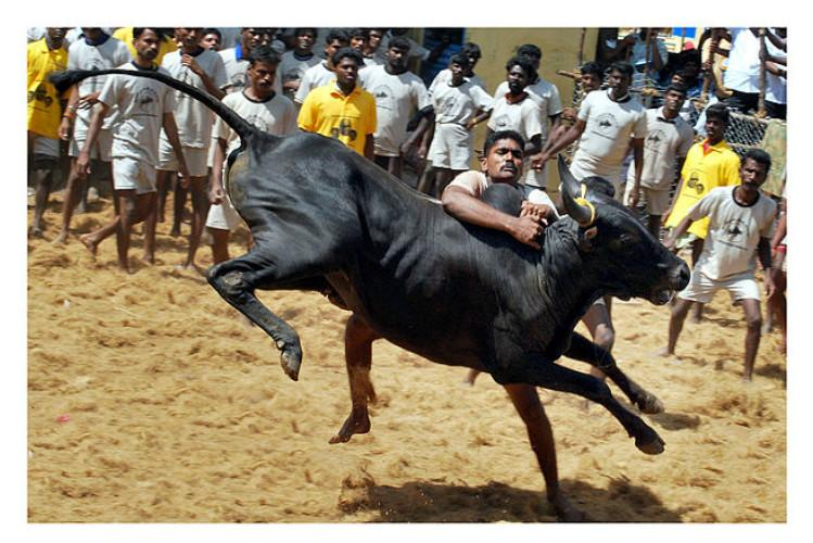 Bulls not ill-treated at Jallikattu claims BJP minister