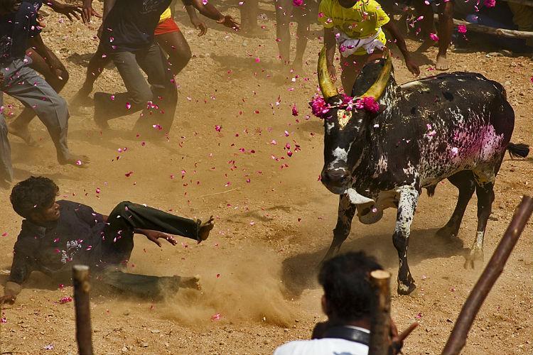 Watch Its not just a bull it is another child says Jallikattu song by Yuvan Shankar Raja