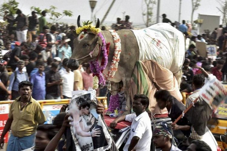 New cattle slaughter rules a sham Why voices of jallikattu are upset with the Centre