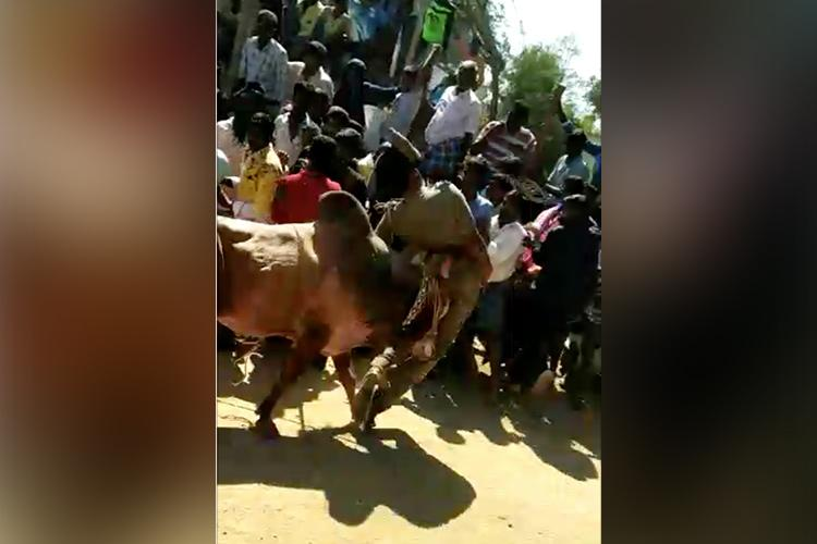 Video TN police officer thrown into the air by Jallikattu bull in Vellore