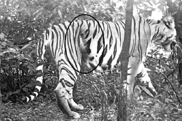 Injured K4 tigress from Telangana active but still has a wire snare around abdomen