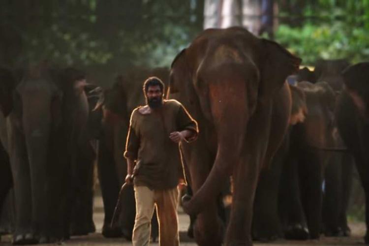 Rana Daggubati is seen walking in front of a herd of elephants.
