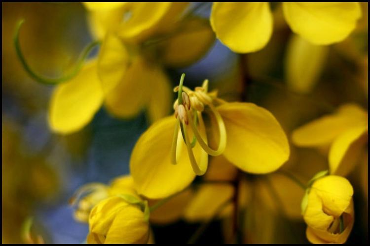 Where have all the Vishu kanikonna flowers gone