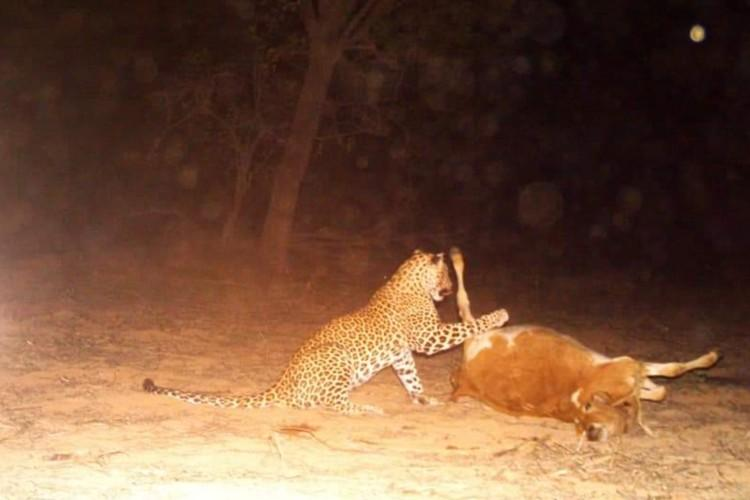 Leopard on prowl in Telanganas Ranga Reddy district spotted on camera at last