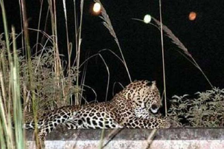 Irate villagers burn leopard to death in Gujarat after girl succumbs to attack