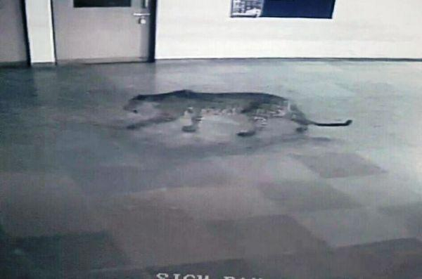 Intelligent leopard scripted its own escape in Bengaluru claims report