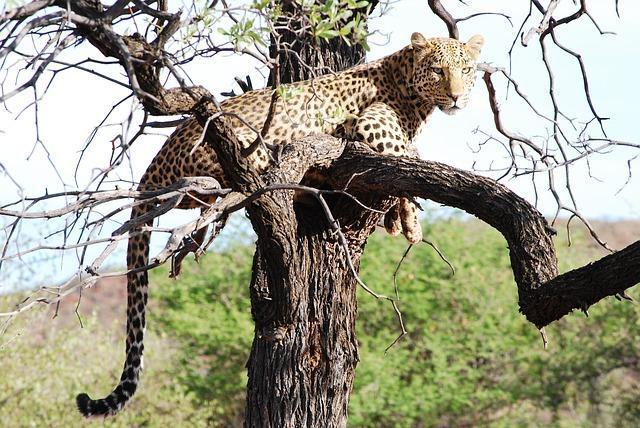 Leopard kills two cows inside Andhras Sri Venkateswara University triggers panic