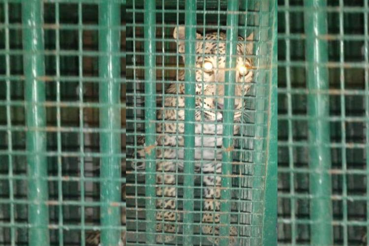 Elusive leopard on Hyderabad research campus finally caught after five months